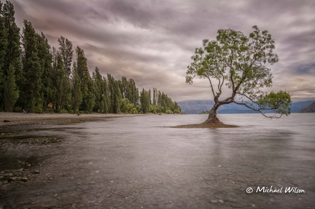 Wanaka Tree 2